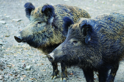 Squeal On Pigs! Report signs of wild boar