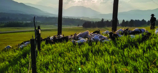 Goats provide effective weed control