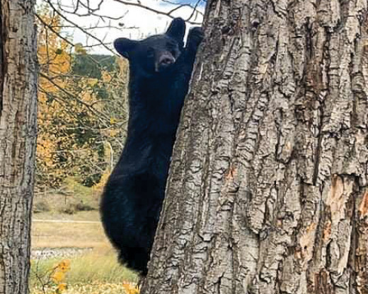 Vehicles chasing bears an issue in Crowsnest Pass